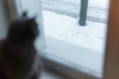 Gray cat looking uotside from window — Stock Photo