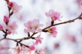 Sakura wiśni w rozkwicie — Zdjęcie stockowe