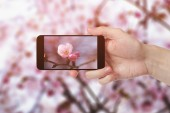 Adult man hand taking photo of sakura — Stock Photo