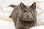 Grey cat lying in bed, playfull mood — Stock Photo