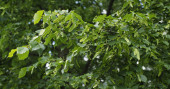 Fresh linden leaves in summer morning — Stock Photo