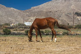 Horse grazing on Santorini — Stock Photo