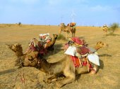 Camels resting during camel safari, Thar desert, India — Stock Photo