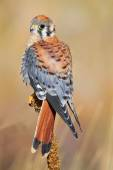 American kestrel sitting on a mullein — Stock Photo