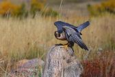 Peregrine falcon sitting on a rock — Photo
