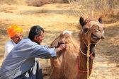 Local guide grooming his camel during safari, Thar desert, India — Stok fotoğraf