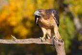 Red-tailed hawk sitting on a stick — Stock Photo