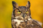 Portrait of Great horned owl — Stock Photo