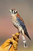 American kestrel sitting on falconer glove — Stock Photo