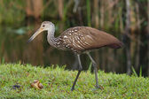 Limpkin eating snail — Stock Photo