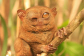 Tarsier sitting on a tree, Bohol island, Philippines — Stock Photo