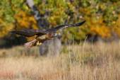 Red-tailed hawk in flight — Stock Photo