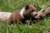 Grizzly bear cub sitting in green grass — Stock Photo