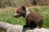 Grizzly bear cub sitting on the log — Stockfoto