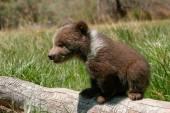 Grizzly bear cub sitting on the log — Стоковое фото