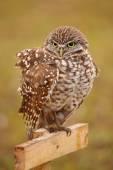 Burrowing Owl sitting on a pole — Stock Photo