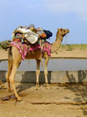 Camel standing by water reservoir in a small village during came — Stock Photo