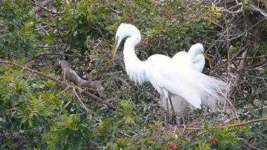 Great egret (Ardea alba) building nest — Stock Video