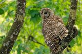 Barred owl (Strix varia) sitting on a tree — Stock Photo