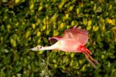 Roseate Spoonbill in flight near the nest — Stock Photo