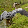 Great blue heron with a catch — Stock Photo #72361999