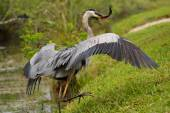 Great blue heron with a catch — Stock Photo