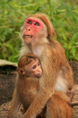 Toque macaques mother and baby sitting at Cave Temple in Dambull — Stock Photo