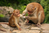 Toque macaque grooming baby at Cave Temple in Dambulla, Sri Lank — Stock Photo