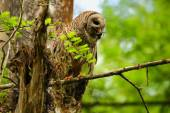 Barred owl (Strix varia) holding crayfish in tis beak — Stock Photo