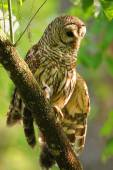Barred owl (Strix varia) stretching its wing — Stock Photo