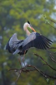 Great Blue Heron spreading wings. It is the largest North Americ — Stock Photo