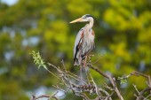 Great Blue Heron standing on a tree branch. It is the largest No — Stock Photo