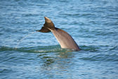 Tail of diving Common bottlenose dolphin — Stock Photo