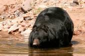 American black bear going into the water — Stock Photo