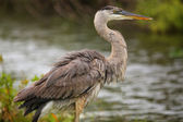 Great Blue Heron standing by the water. It is the largest North — Stock Photo