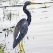 Tricolored Heron — Stock Photo #57110871