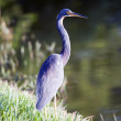 Tricolored Heron — Stock Photo #57110907