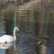 White swan — Stock Photo #58323145