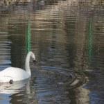 White swan — Stock Photo #58323145