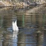 White swan — Stock Photo #58323275