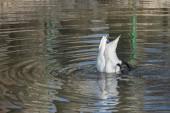 Cigno bianco — Foto Stock