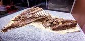Fossil Exhibit in Royal Tyrrell Museum — Stok fotoğraf