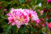 Fragrant Rose in Full Blossom — Stock Photo