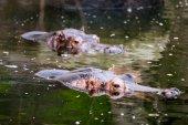 Suaygırları su — Stok fotoğraf