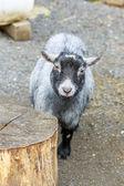 Chèvre pygmée — Photo