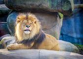 Löwe — Stockfoto