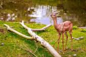 Gazelle feeding — Stock Photo
