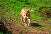 Lioness Approaching — Stock Photo