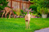 Mule Deer in Backyard — Stock Photo