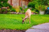 Mule Deer in Backyard — Stock Photo